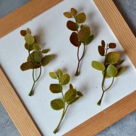 Веточка рускуса с круглыми листиками оливково-бордовая 10см 1 шт.